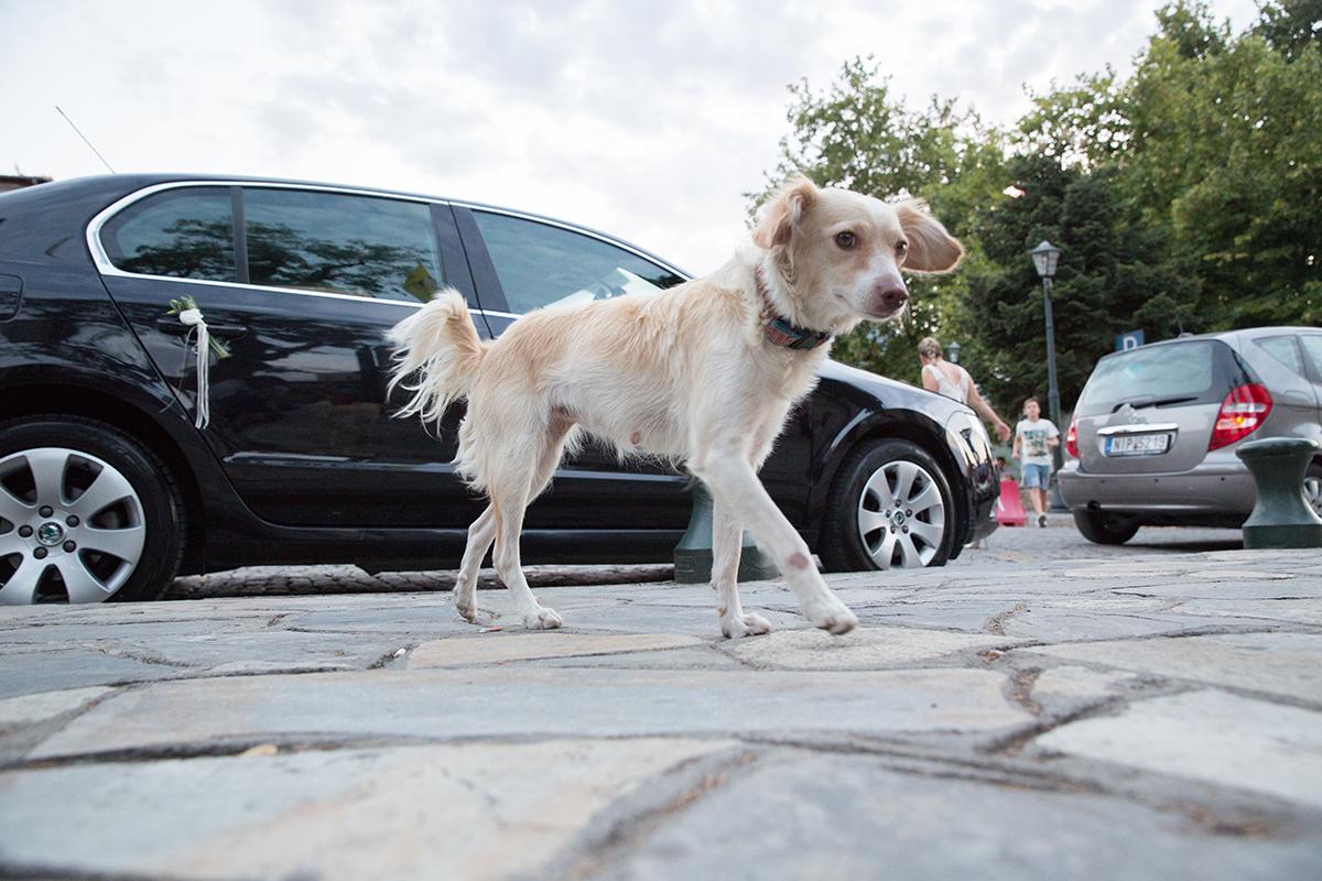 θηλυκό μικρό λευκό σκυλί περπατάει στην αυλή της εκκλησίας.φωτογραφία από γάμο .
